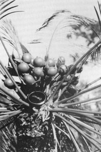 Cycad fruit