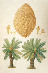 Sketch of cycad by ferdinand bauer